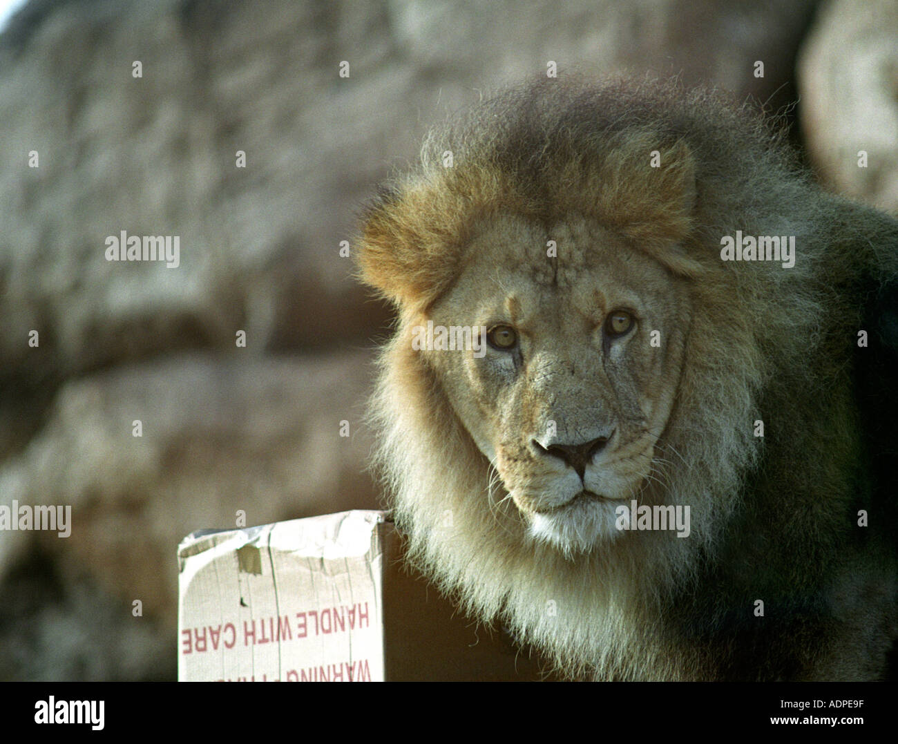 Mature male lion looking for food - Stock Image