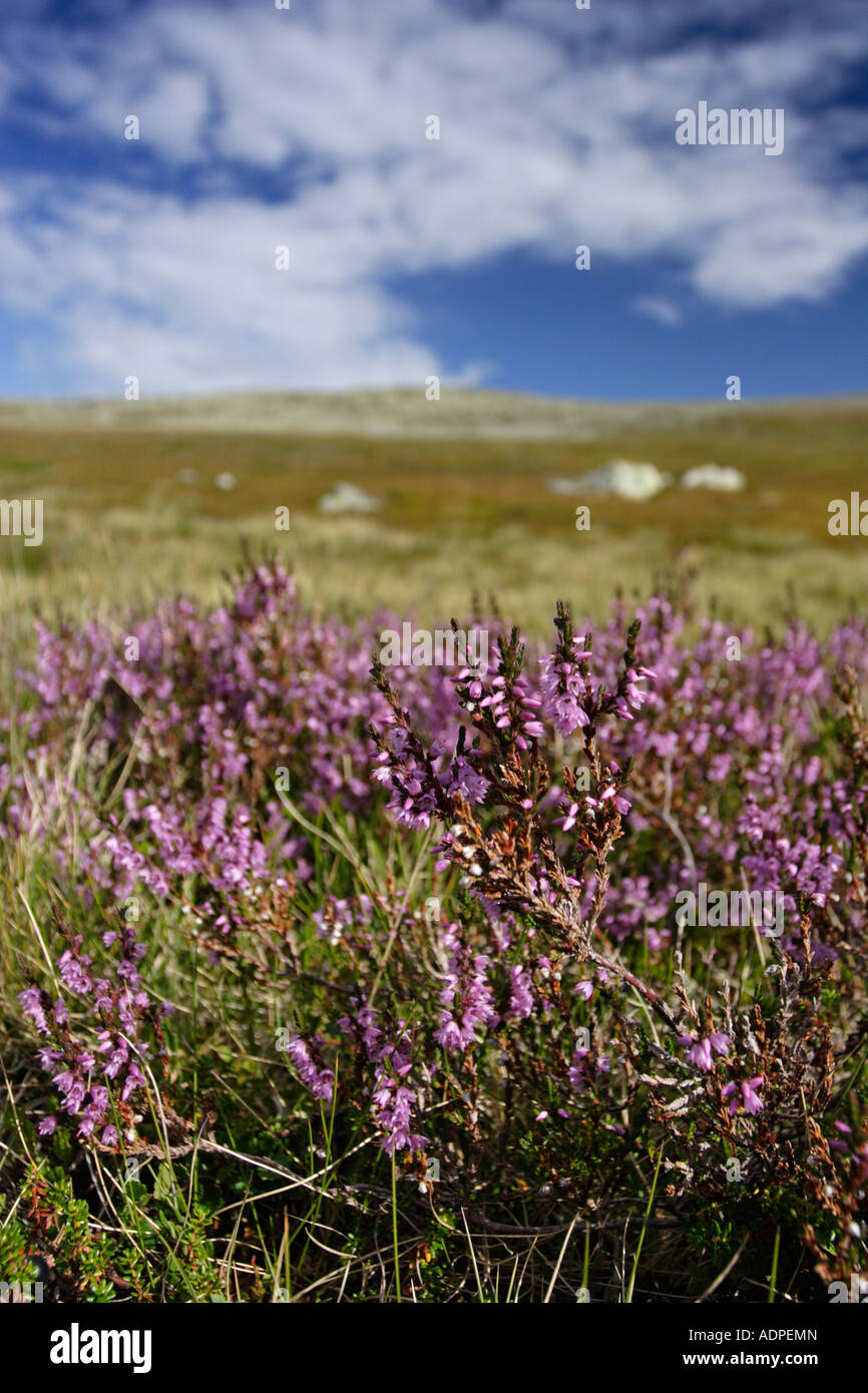 Heather in Sweden. This was taken at Fulufjället, Dalarna. - Stock Image