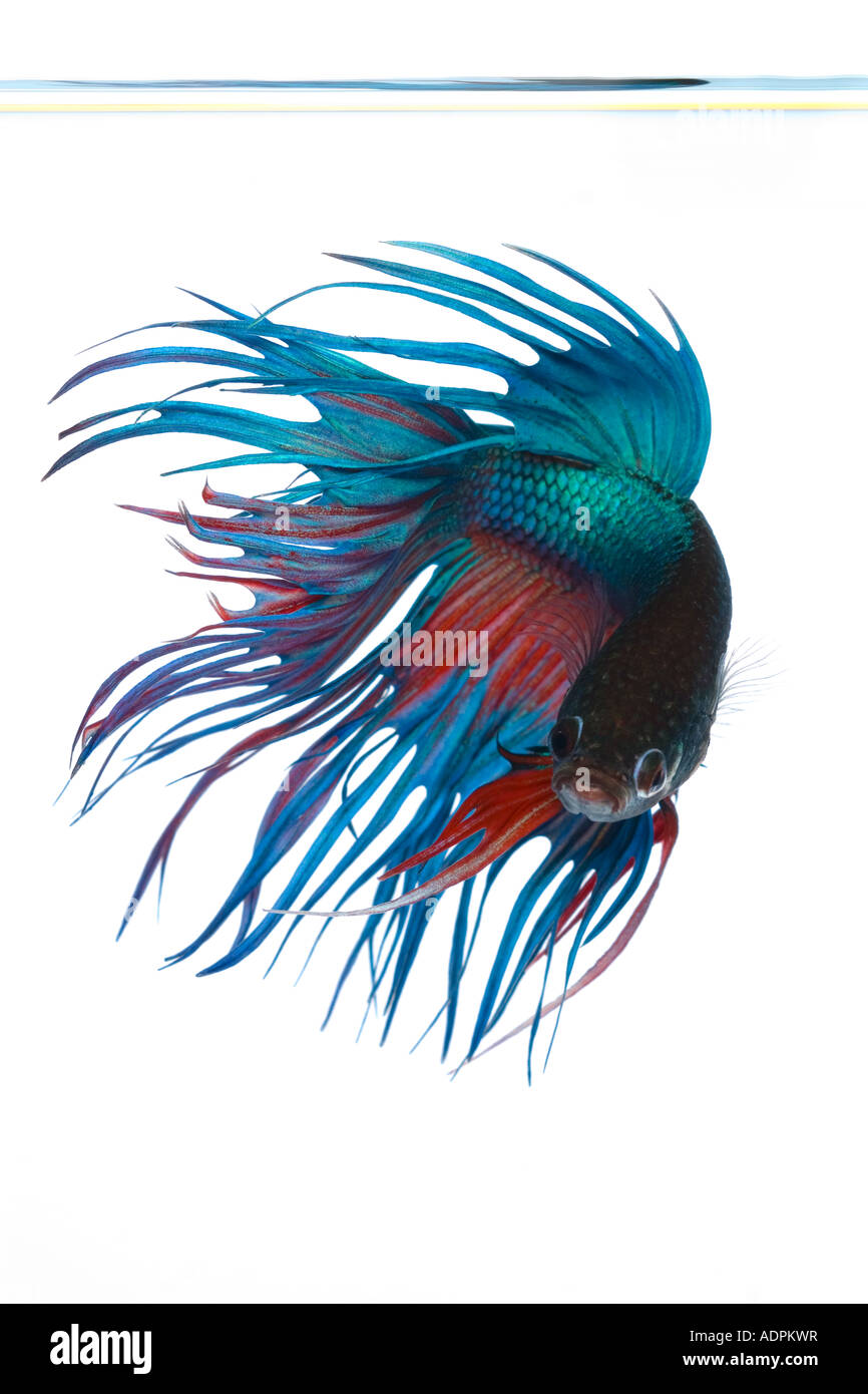 Turquoise and Red Crown Betta fish displaying elaborate fin detail and flowing tail spinning movement face on to Stock Photo