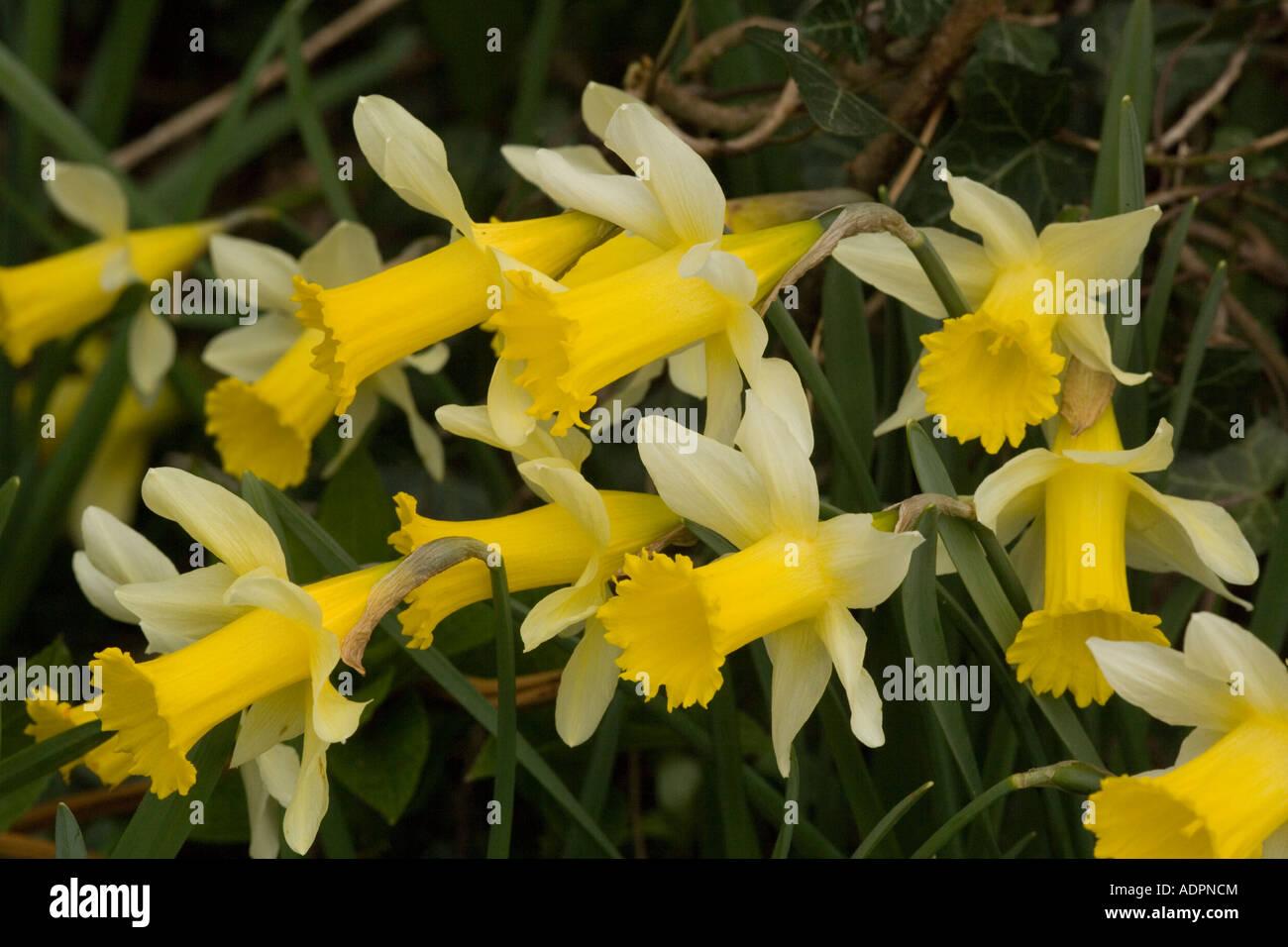 Wild daffodils on roadside verge Narcissus pseudonarcissus Gloucs - Stock Image