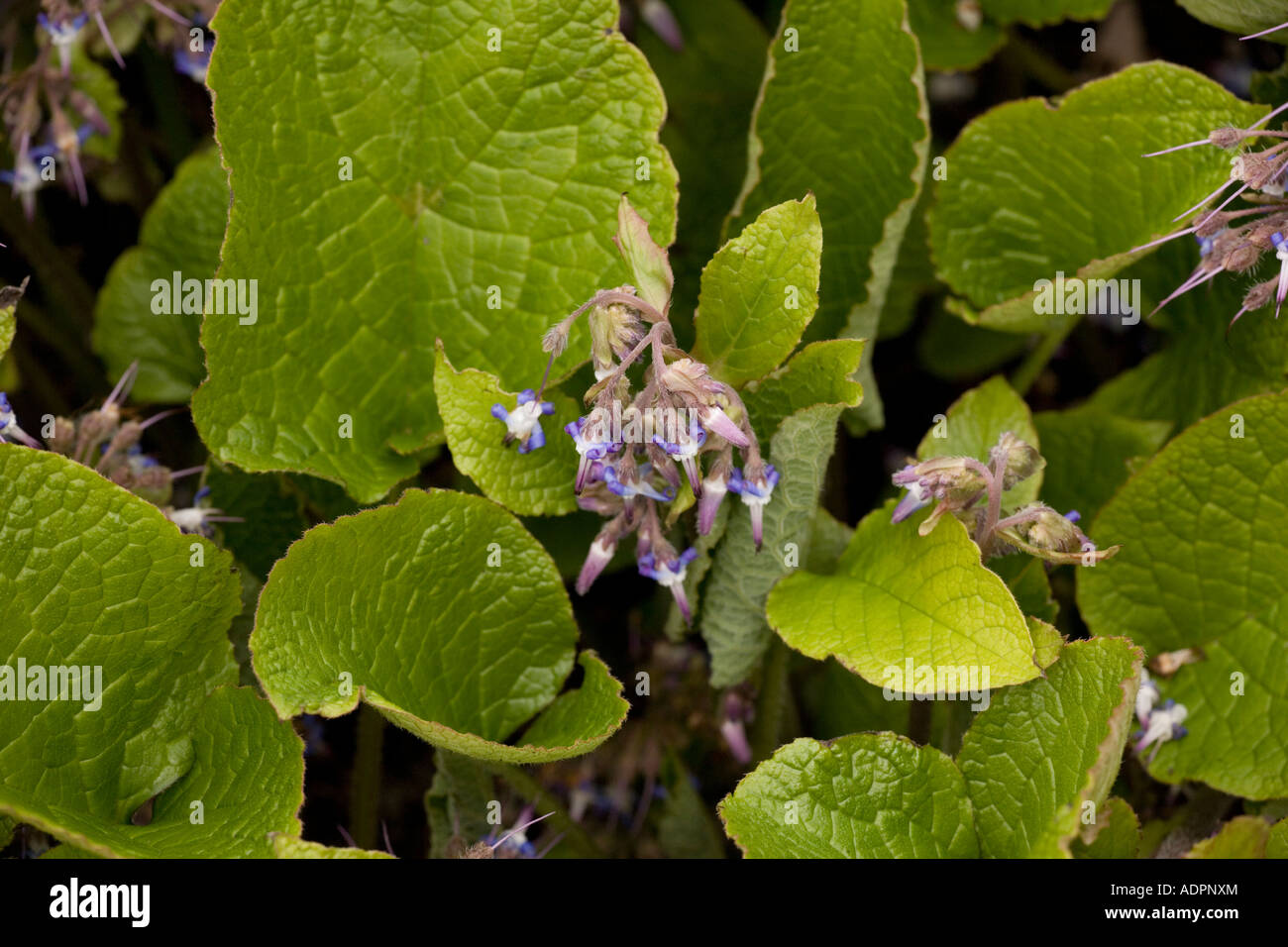 Abraham Isaac Jacob Trachystemon orientalis from the Caucasus and Turkey - Stock Image