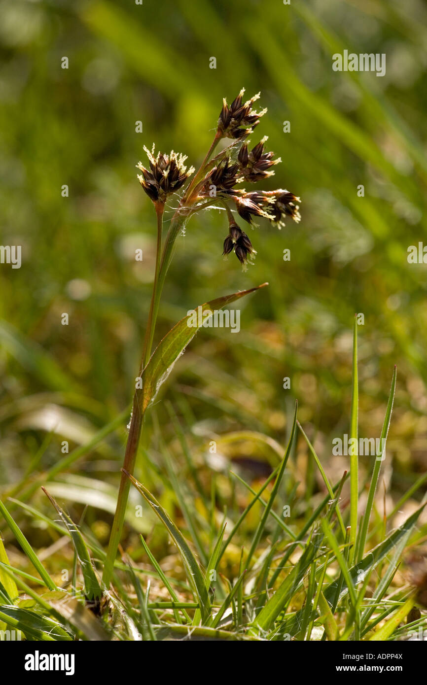 Field wood rush Luzula campestris - Stock Image