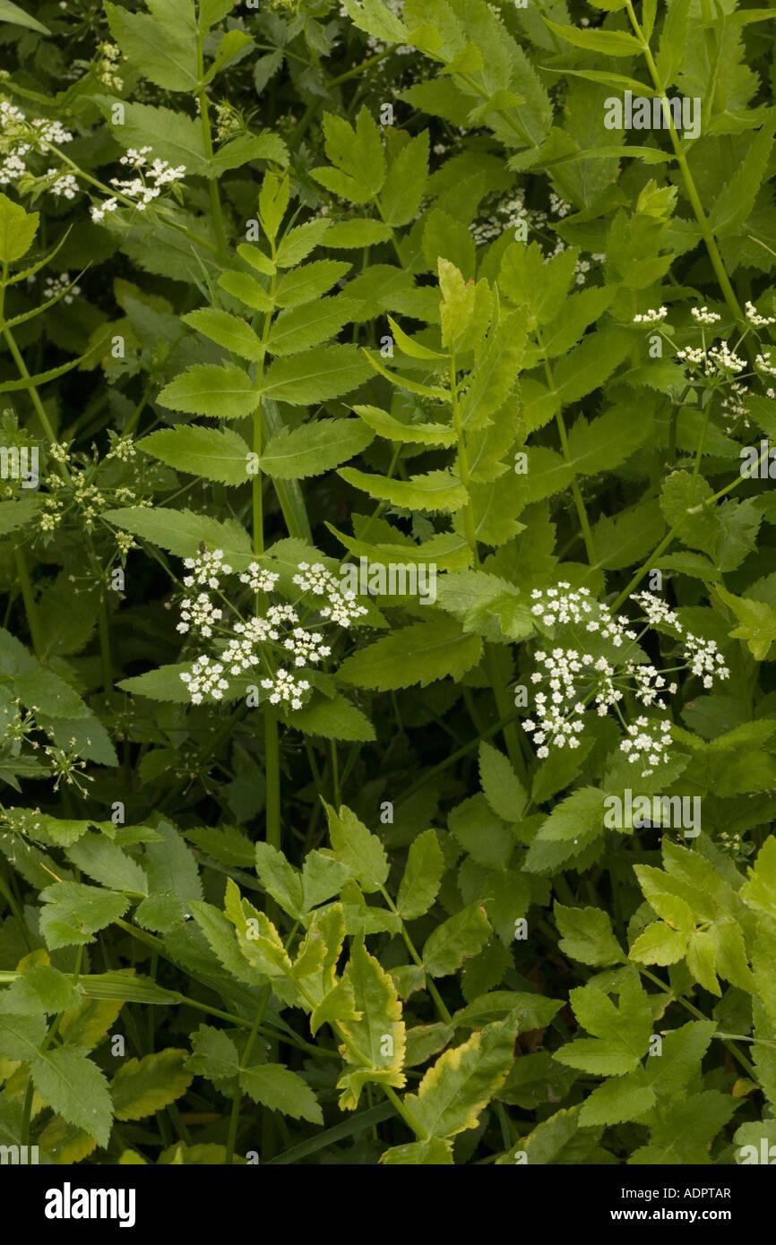 Lesser water parsnip Berula erecta in River Stour Dorset Stock Photo