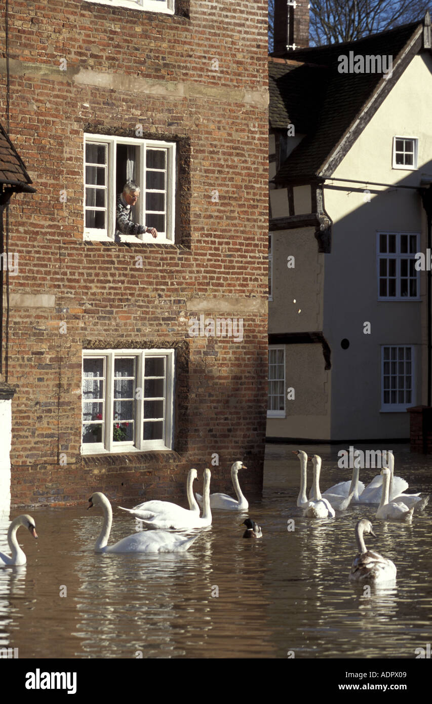 Man feeds swans in street from the window of his flooded house Bewdley Worcestershire - Stock Image