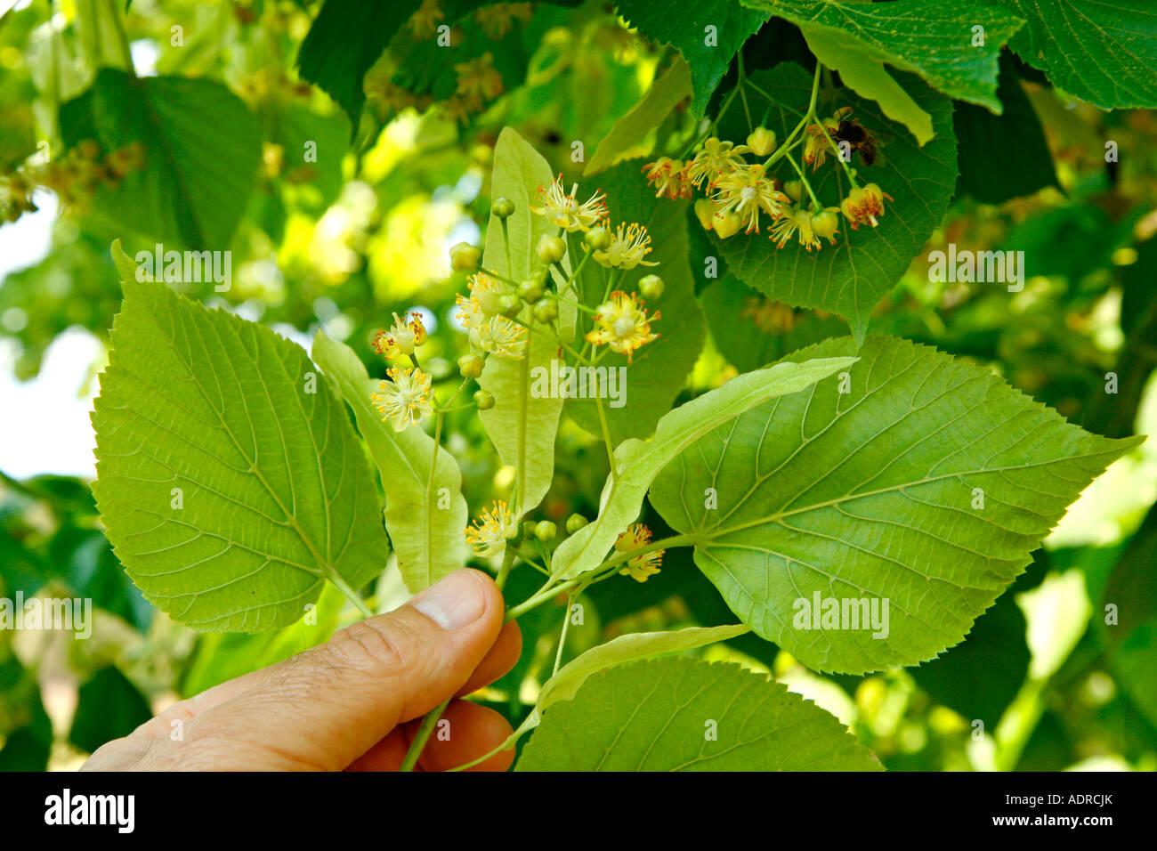 Lime Tree Tilia Stock Photos & Lime Tree Tilia Stock Images - Alamy