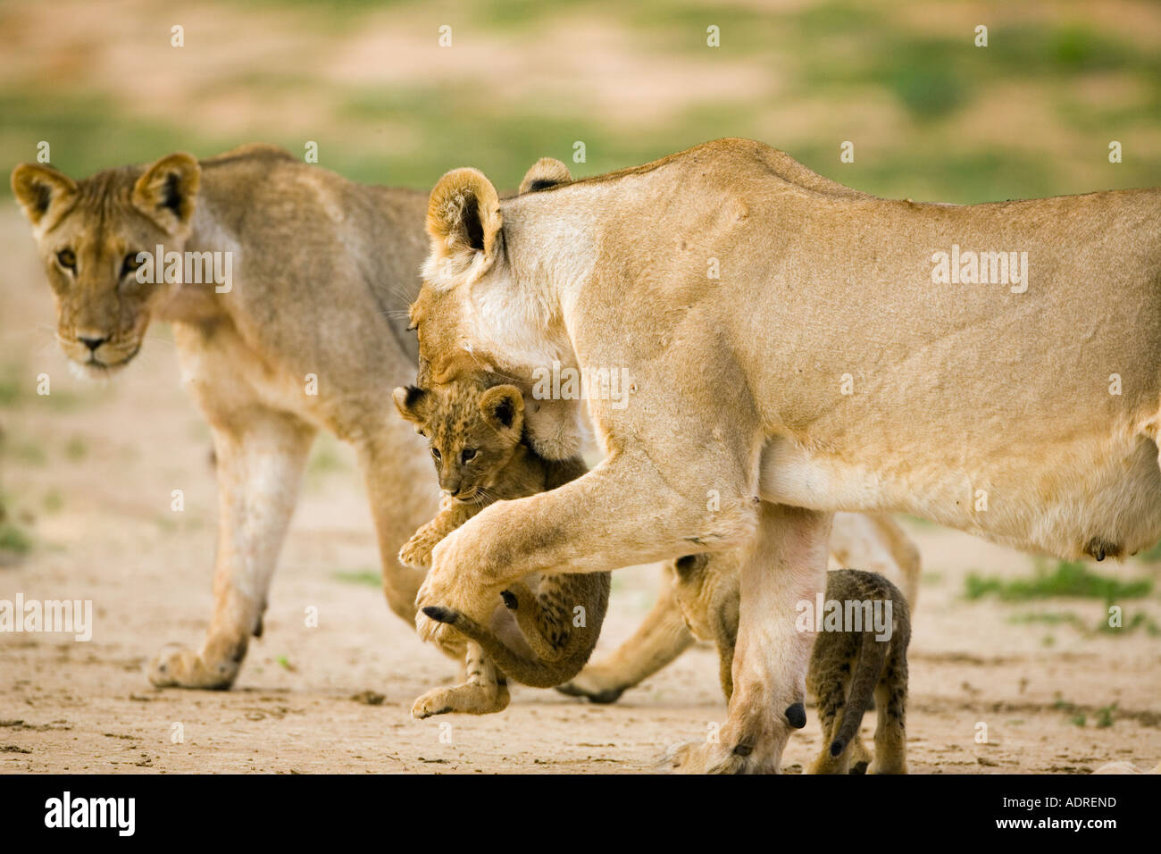 lioness with young cub - Stock Image