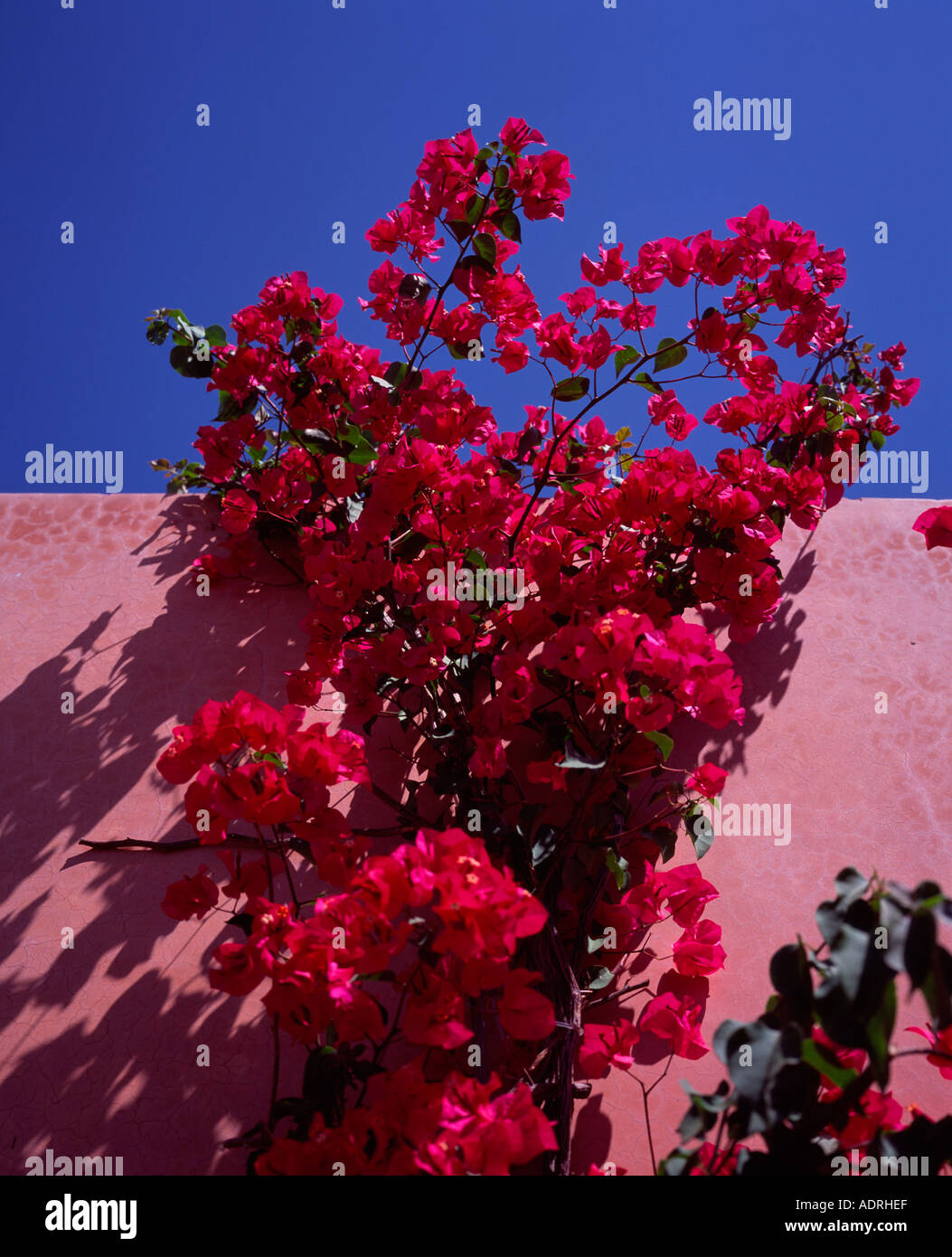 bright red bougainvillea flowers on a pink wall marrakech morocco