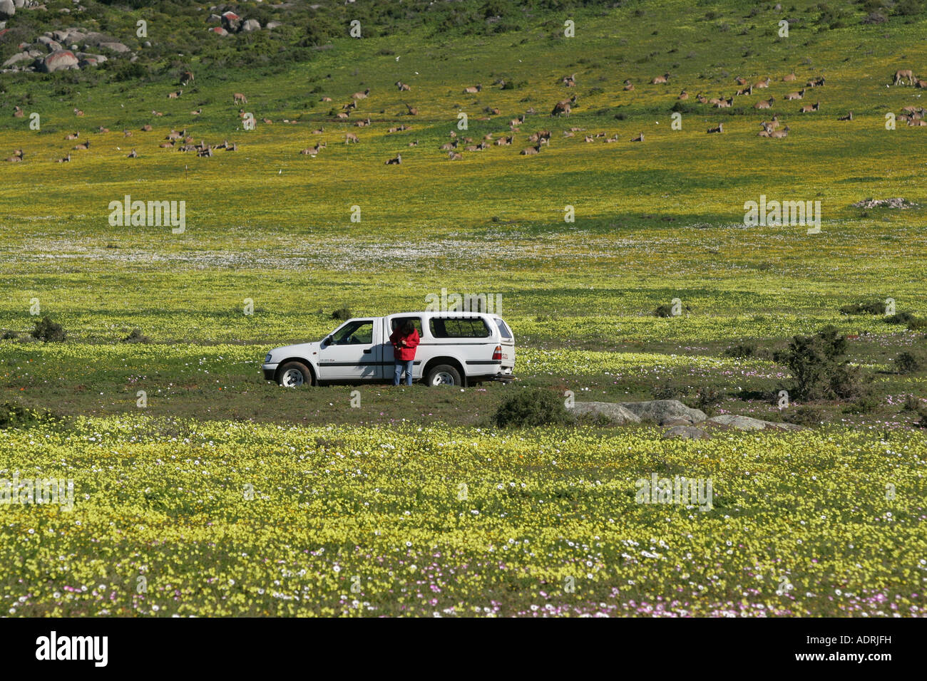 A tourist photographs Wild flowers in Spring on the West Coast of South Africa - Stock Image