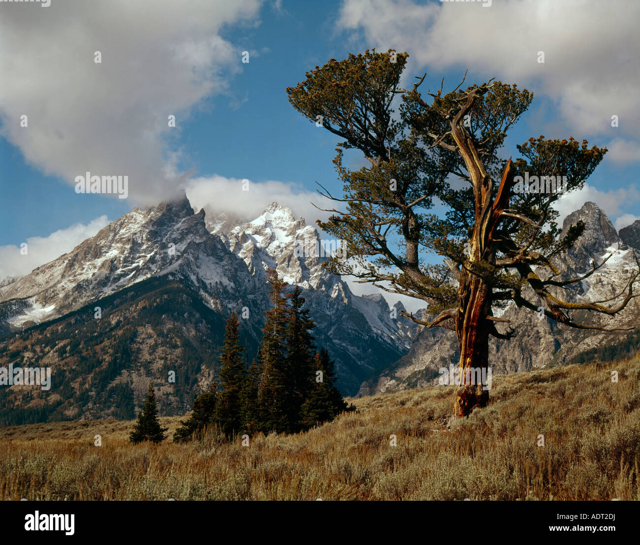 Old Limber Pine tree frames a view of the Teton mountain peaks in ...