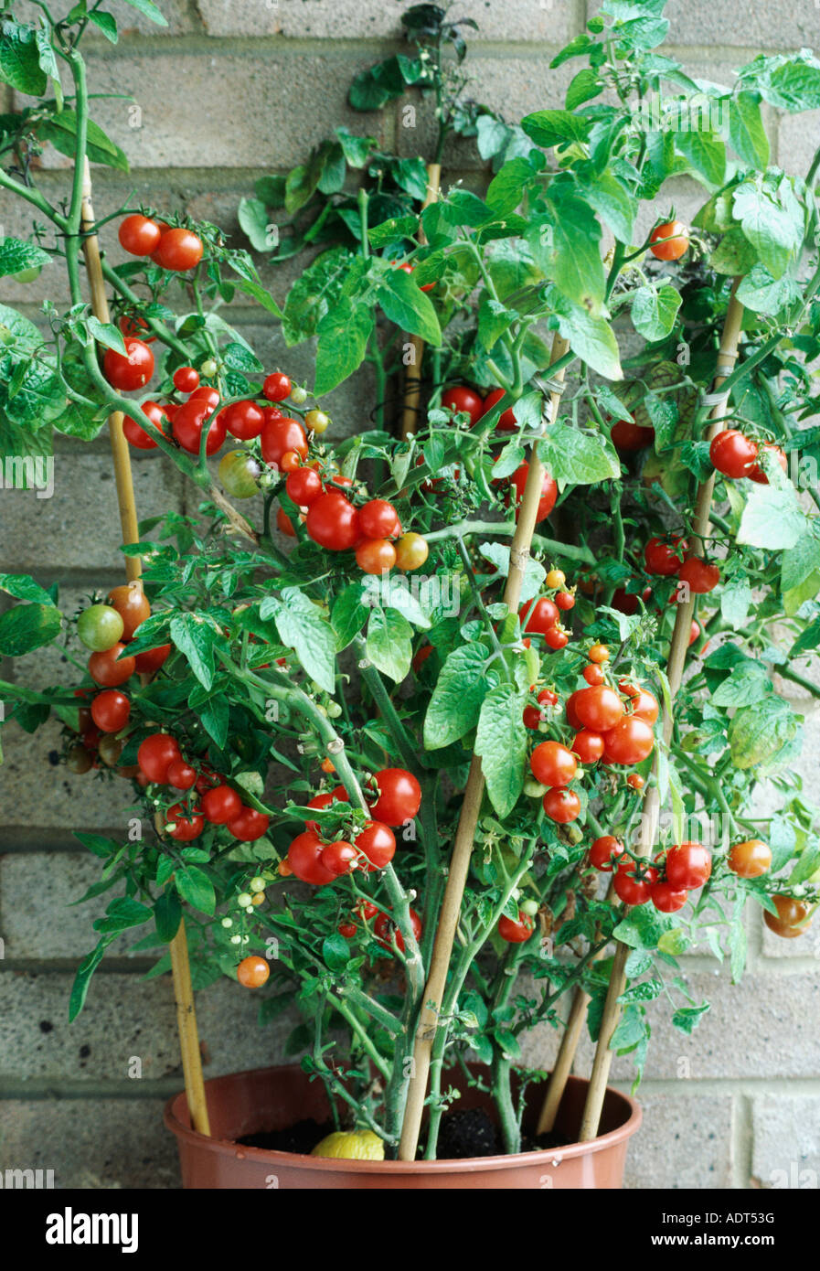 Grow cherry tomatoes in a pot