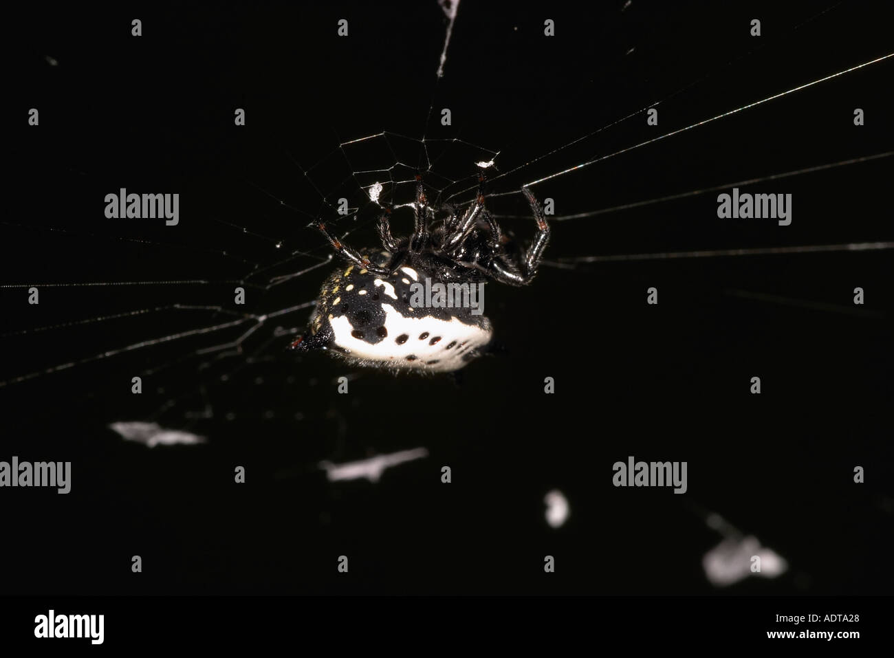 Crab like Spiny Orb Weaver building a web Stock Photo