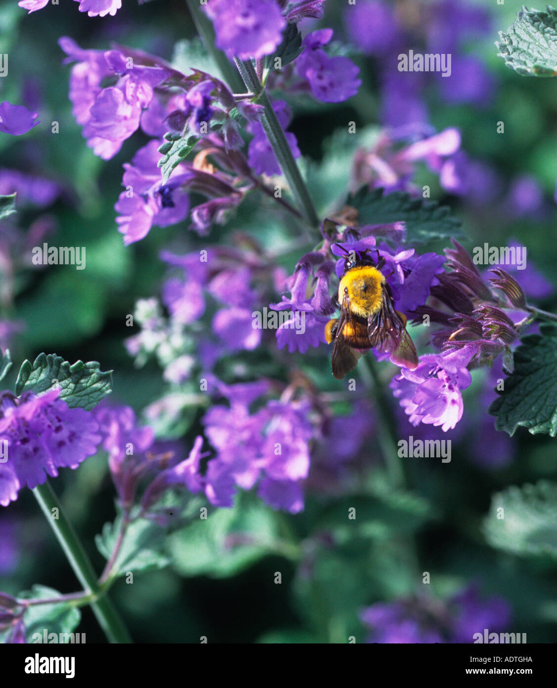 Purple Lavender Flower and a Bee Sandra Baker USA - Stock Image