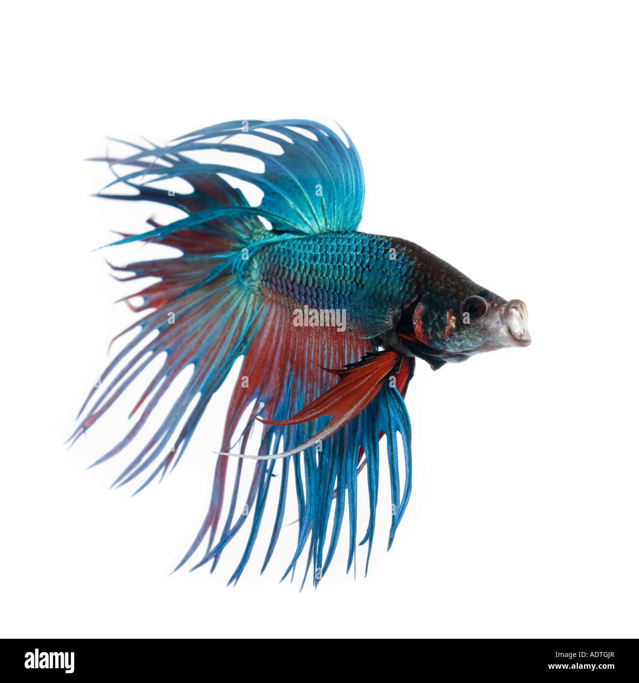 Betta Fins Pictures Turquoise And Red Crown Betta Fish Displaying