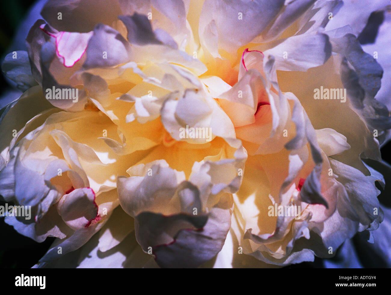 One Peony Close Up Abstract Sandra Baker - Stock Image
