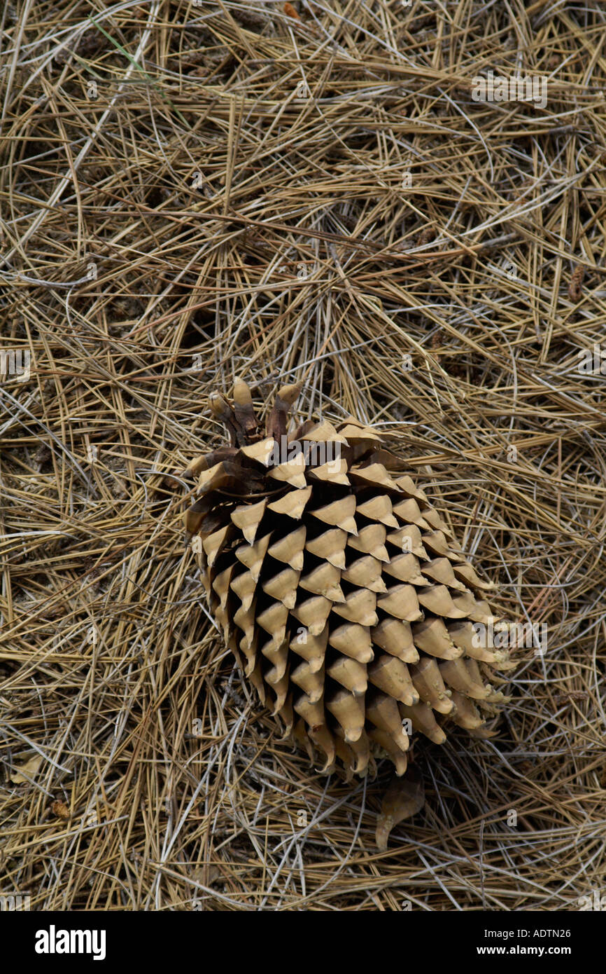 Coulter Pine Stock Photos & Coulter Pine Stock Images - Alamy