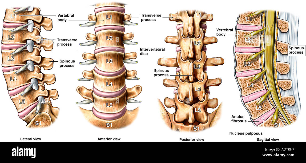 Normal Anatomy Of Lumbar Spine Stock Photos Normal Anatomy Of