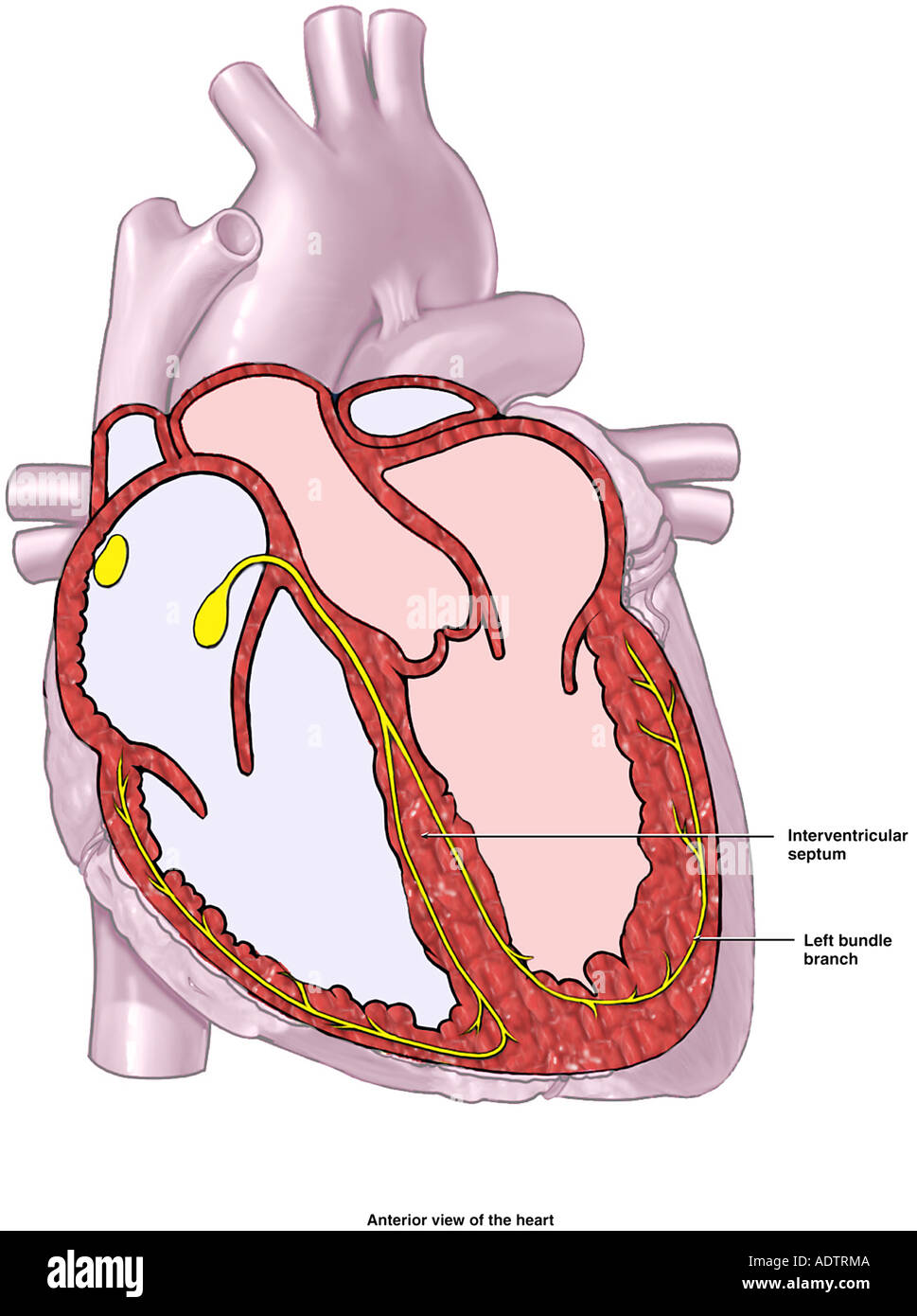 Heart Cardiac Conduction System Diagram Stock Photo 7710089 Alamy