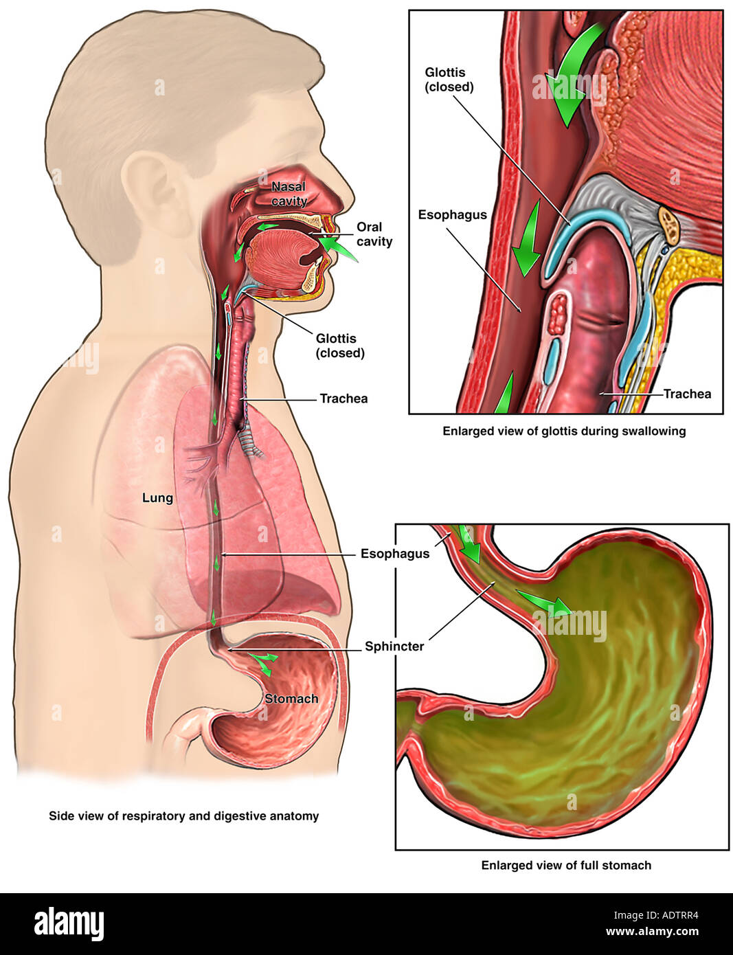 Anatomy of the Upper Digestive System Stock Photo: 7710131 - Alamy