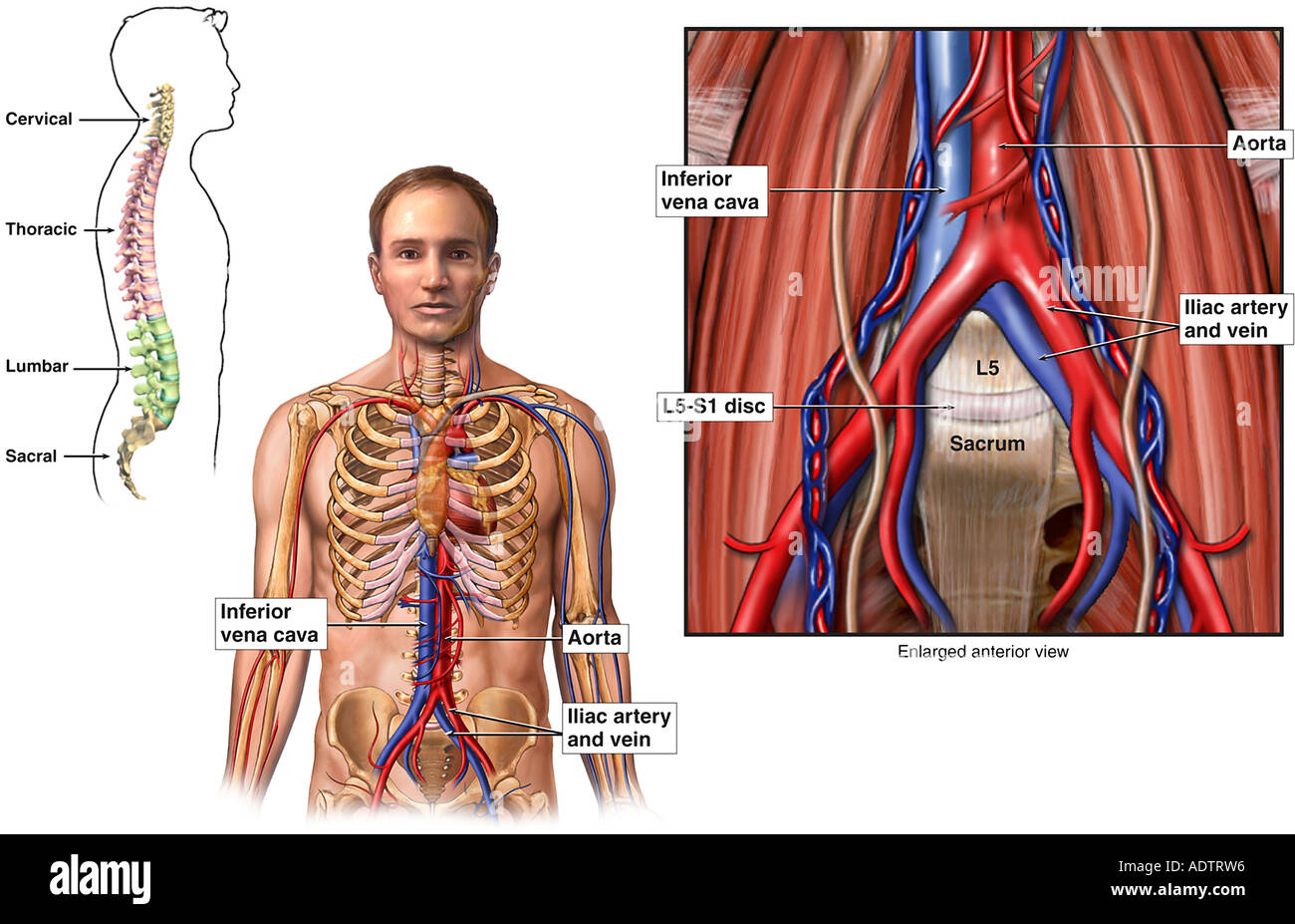 Anatomy Of The Abdominal Blood Vessels Stock Photo 7710165 Alamy