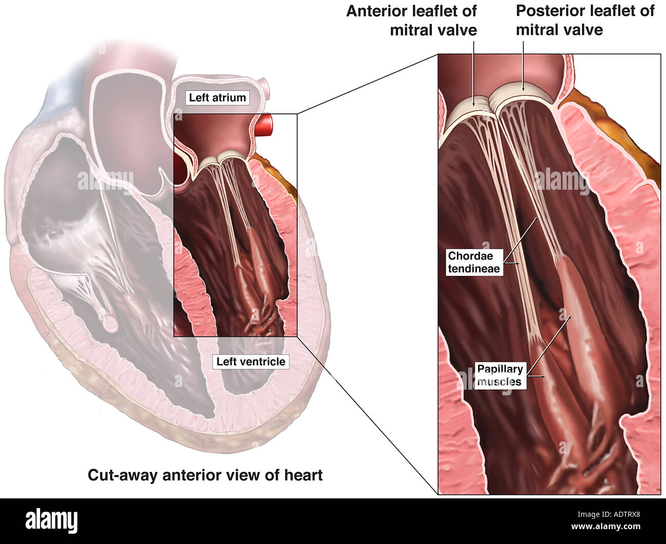 Bicuspid Stock Photos Bicuspid Stock Images Alamy