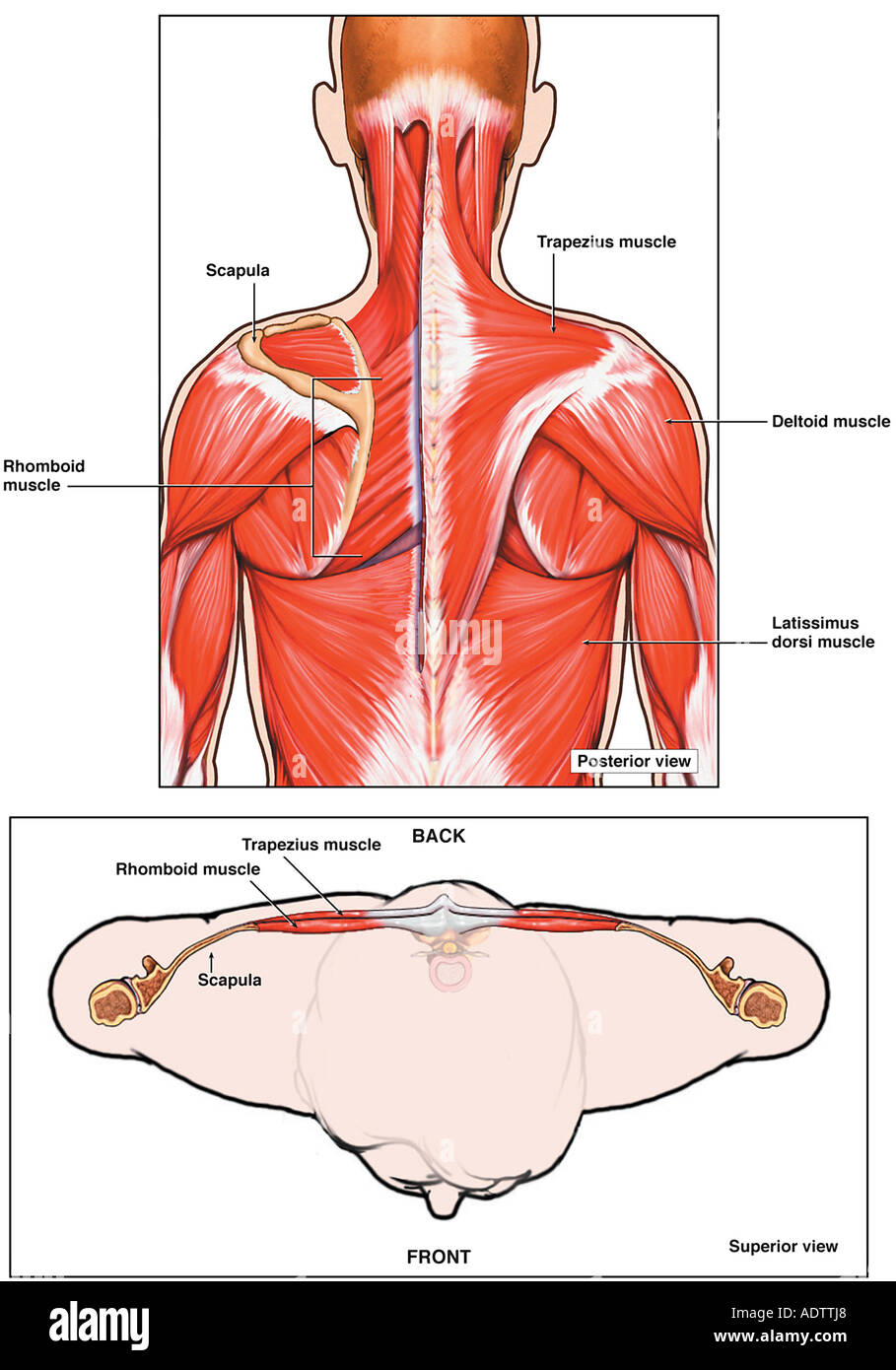 Posterior Deltoid Stock Photos & Posterior Deltoid Stock Images - Alamy
