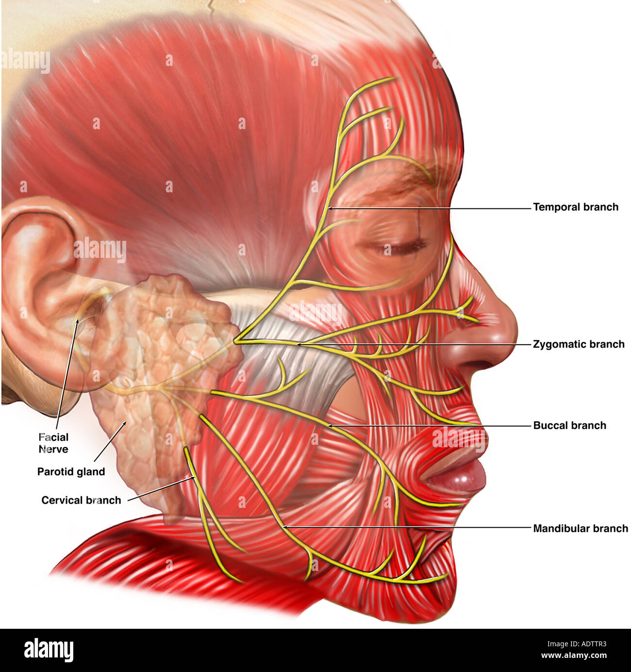 Facial Nerve Stock Photos & Facial Nerve Stock Images - Alamy