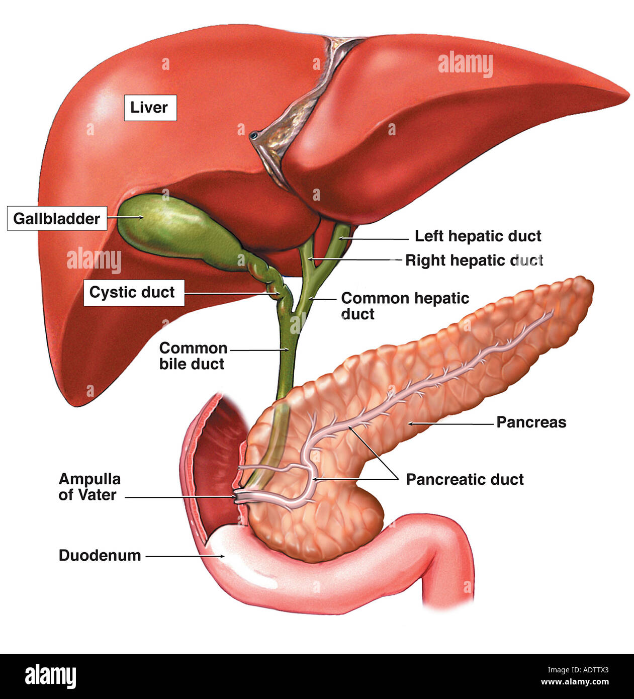 Anatomy of the Hepatic and Pancreatic Ducts Stock Photo: 7710370 - Alamy