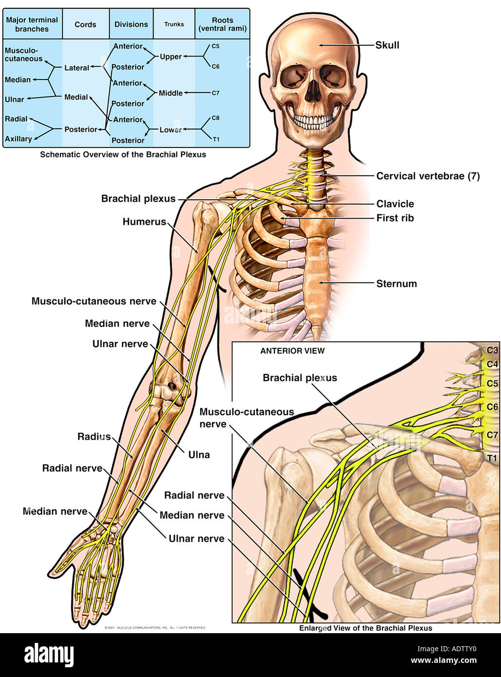 Anatomy of the Brachial Plexus Stock Photo: 7710383 - Alamy