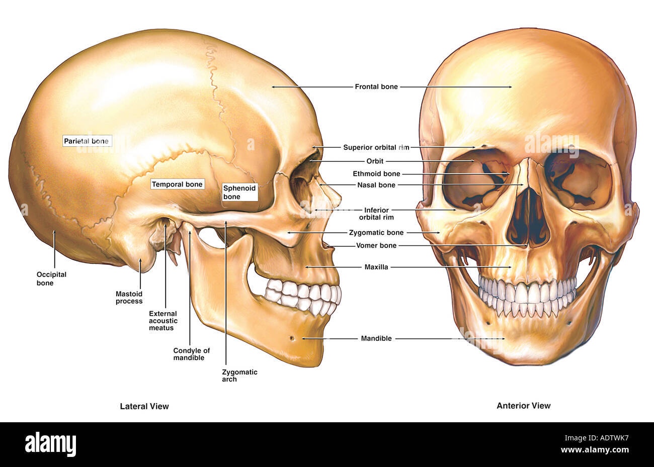 Skull Stock Photos & Skull Stock Images - Page 3 - Alamy