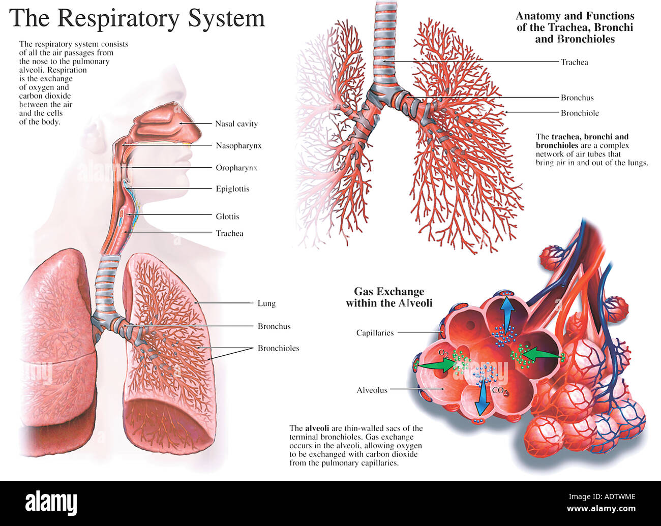 Anatomy and Functions of the Respiratory System Stock Photo: 7710477 ...