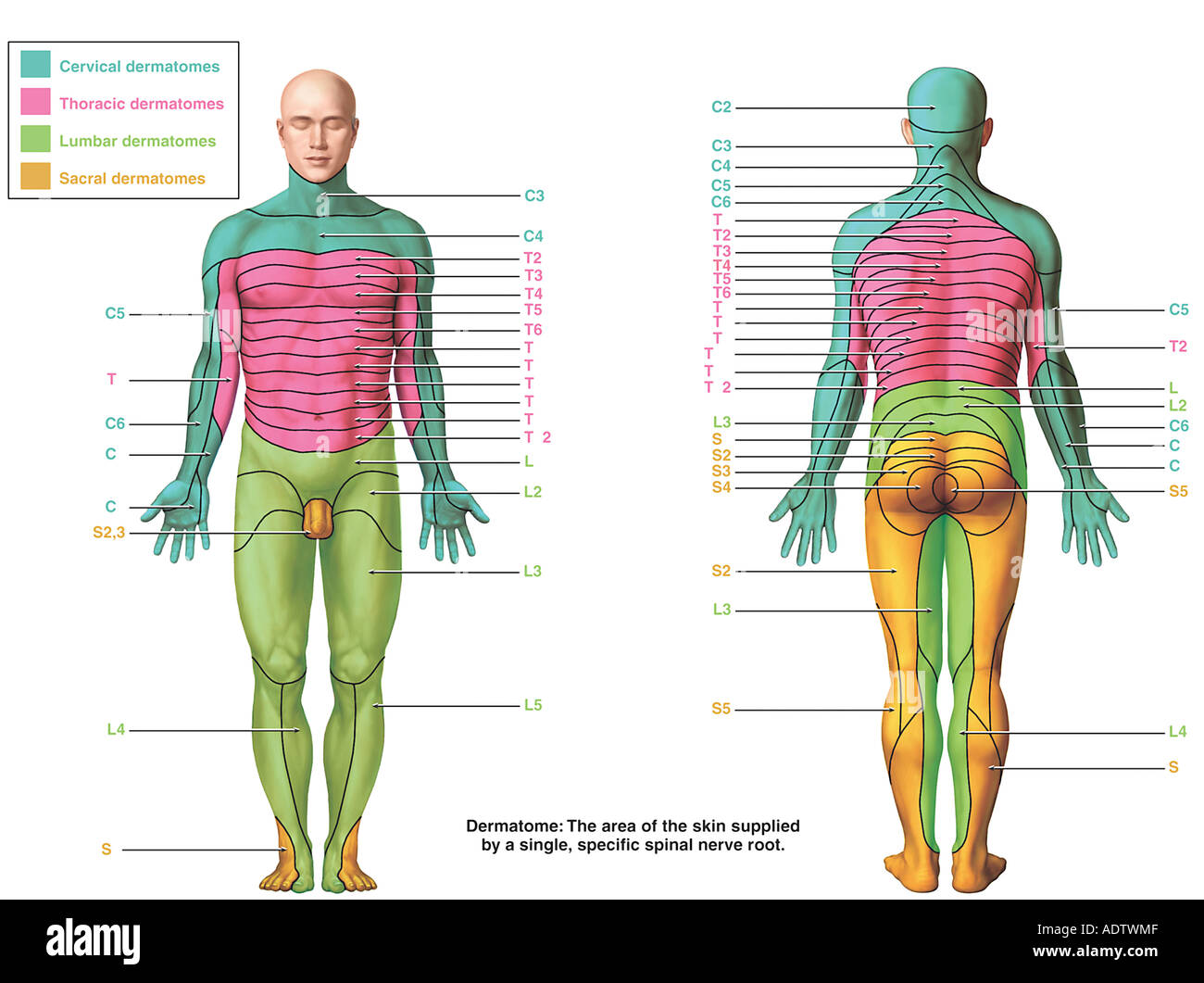 The Dermatomes Stock Photo: 7710478 - Alamy on myotomal map, spinal map, us national parks map, deciduous map, somatosensory system, peripheral nerve field, brachial plexus map, blood–brain barrier, sclerotome map, dermatomal distribution map, lumbosacral plexus map, mtdna haplogroup migration map, nerve map, montserrat map, acupuncture ear map, diffusion map, brachial plexus, nervous system map, cervical pain map, thalamus map, referred pain map, myotome map, st. paul light rail map,