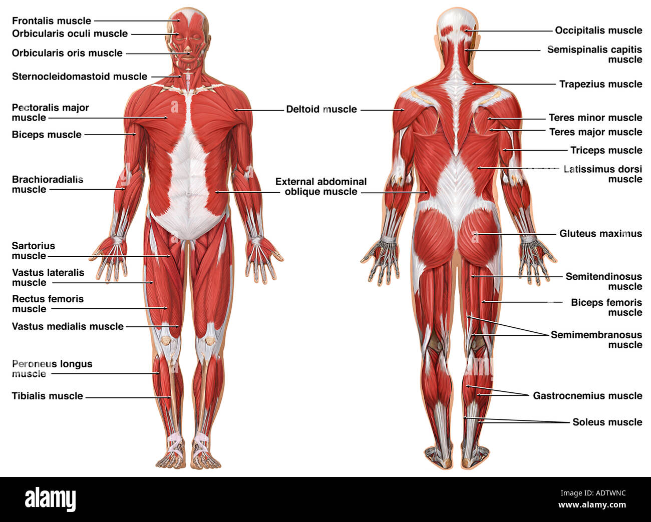 Anatomy of the Muscular System Stock Photo: 7710491 - Alamy