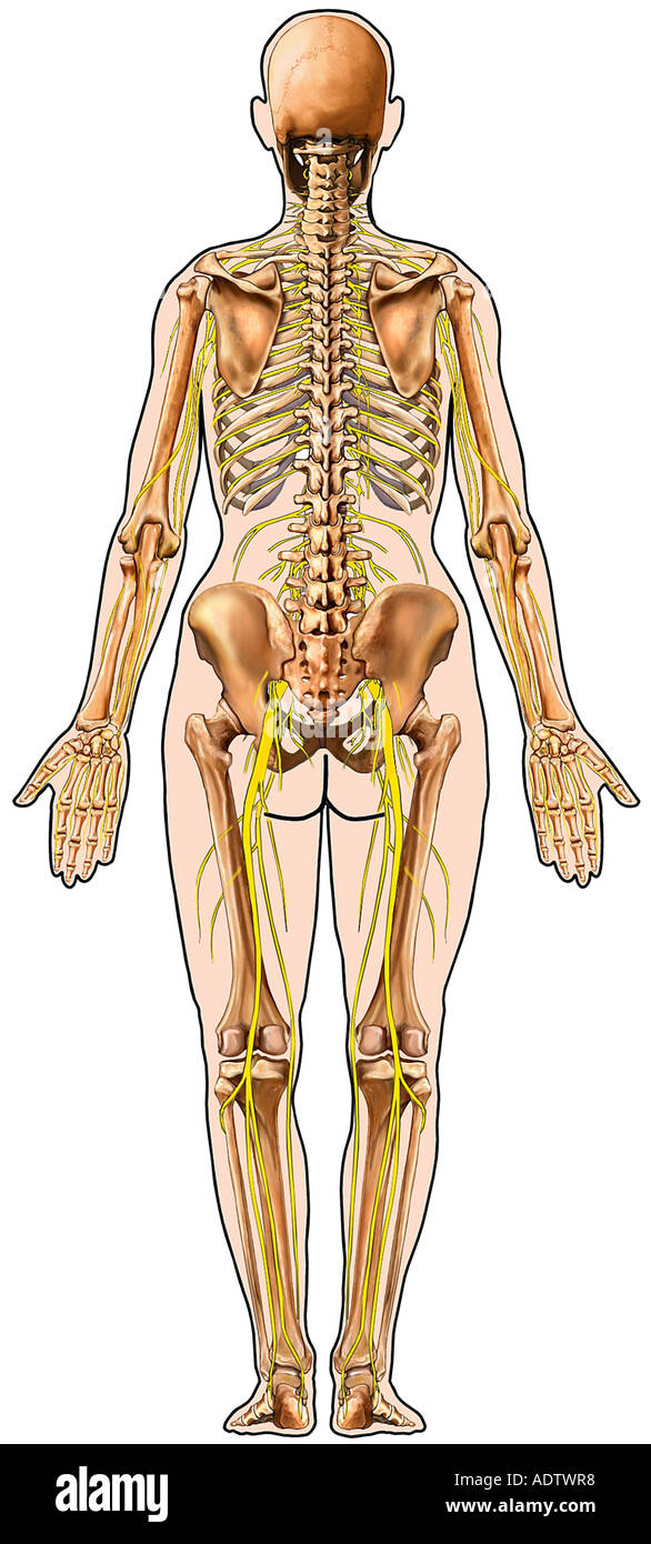 Skeletal System Stock Photos Skeletal System Stock Images Alamy