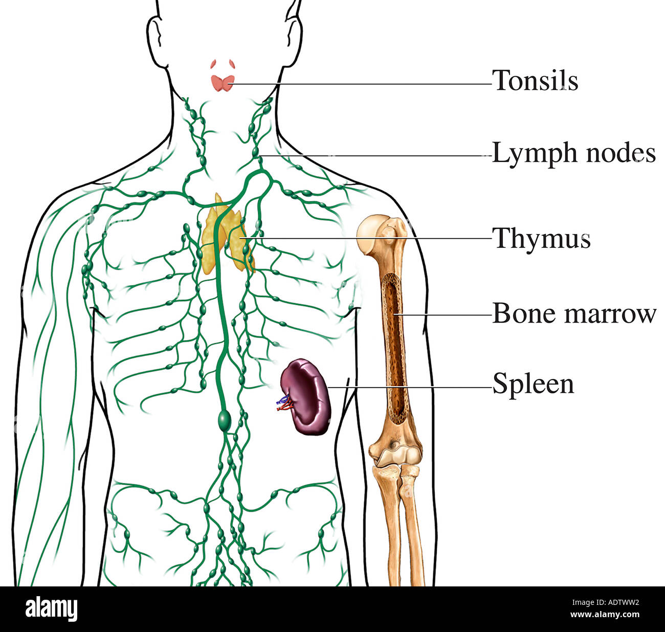 The Lymphatic Immune System Including Labels For Tonsils Lymph Nodes