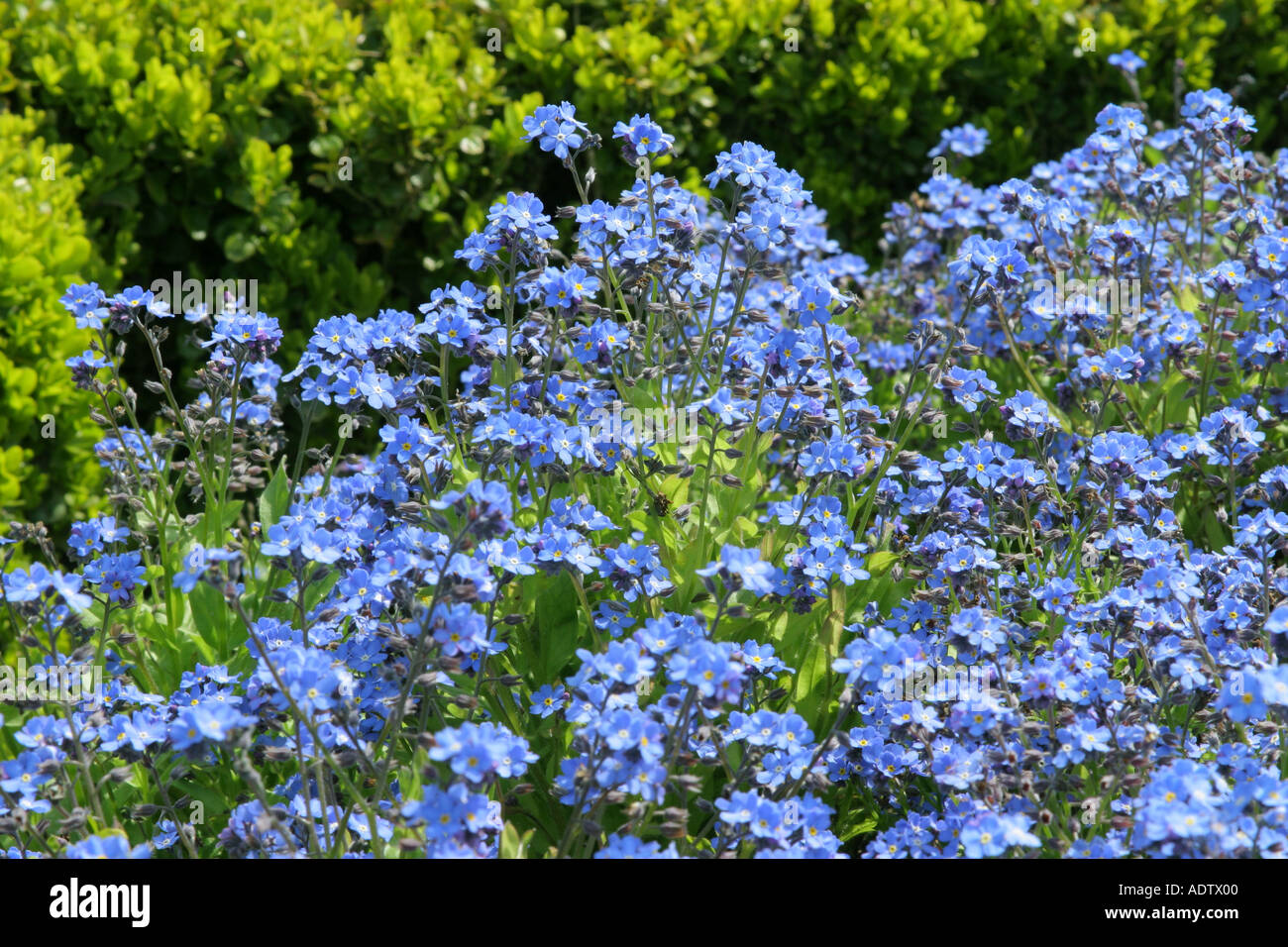 Blue flowers of garden plant forget me not next to dwarf box hedge blue flowers of garden plant forget me not next to dwarf box hedge botanical name myosotis sylvatica izmirmasajfo Choice Image