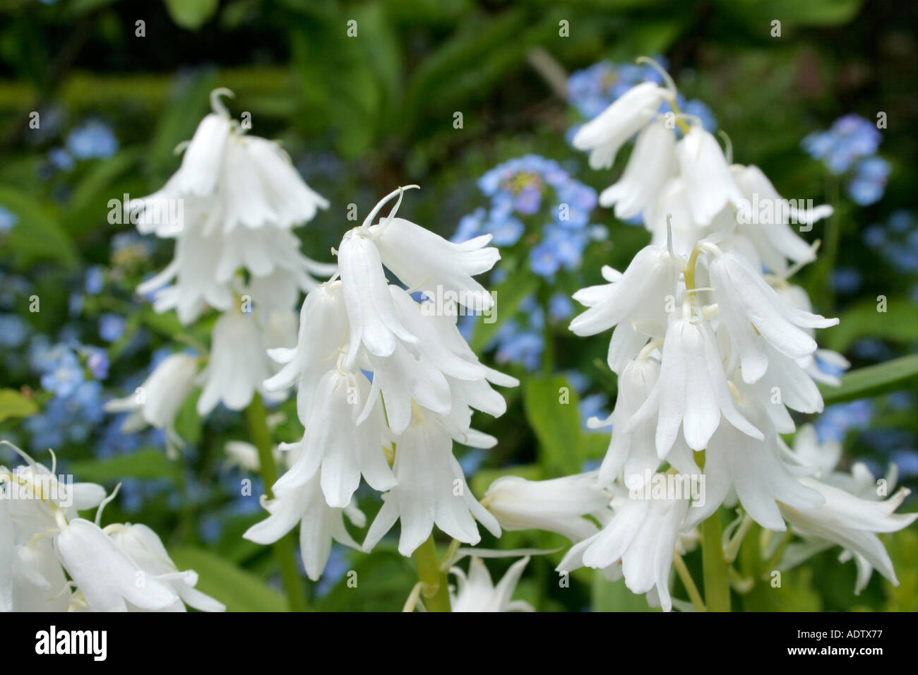 Bluebell wild hyacinth endymion nonscriptus stock photos bluebell white bluebell flowers white variety of wild hyacinth or endymion non scriptus stock image mightylinksfo