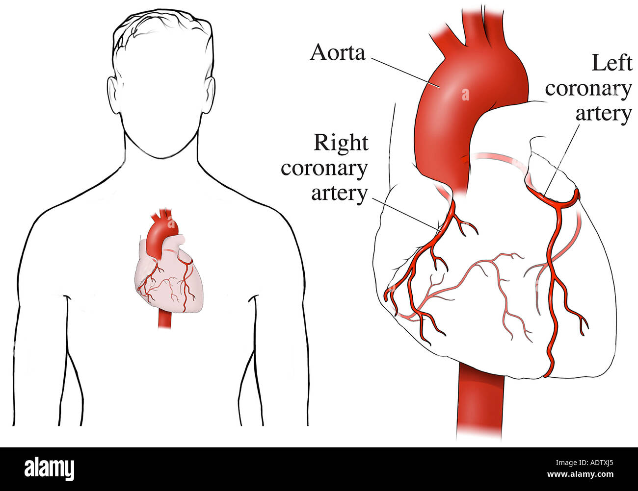 Coronary Arteries Stock Photos Coronary Arteries Stock Images Alamy