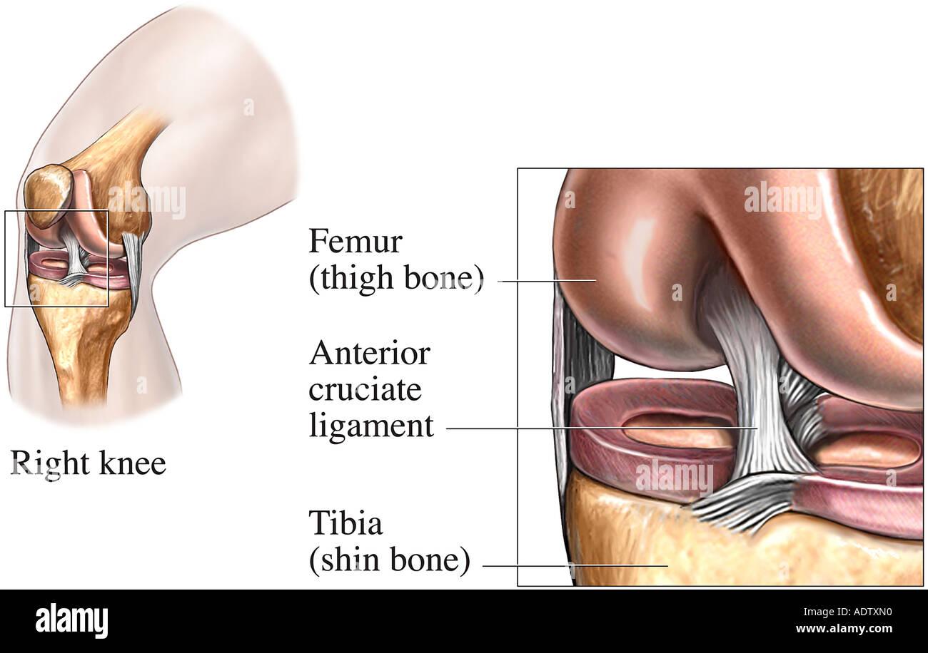 Anatomy of the Anterior Cruciate Ligament Stock Photo: 7710671 - Alamy