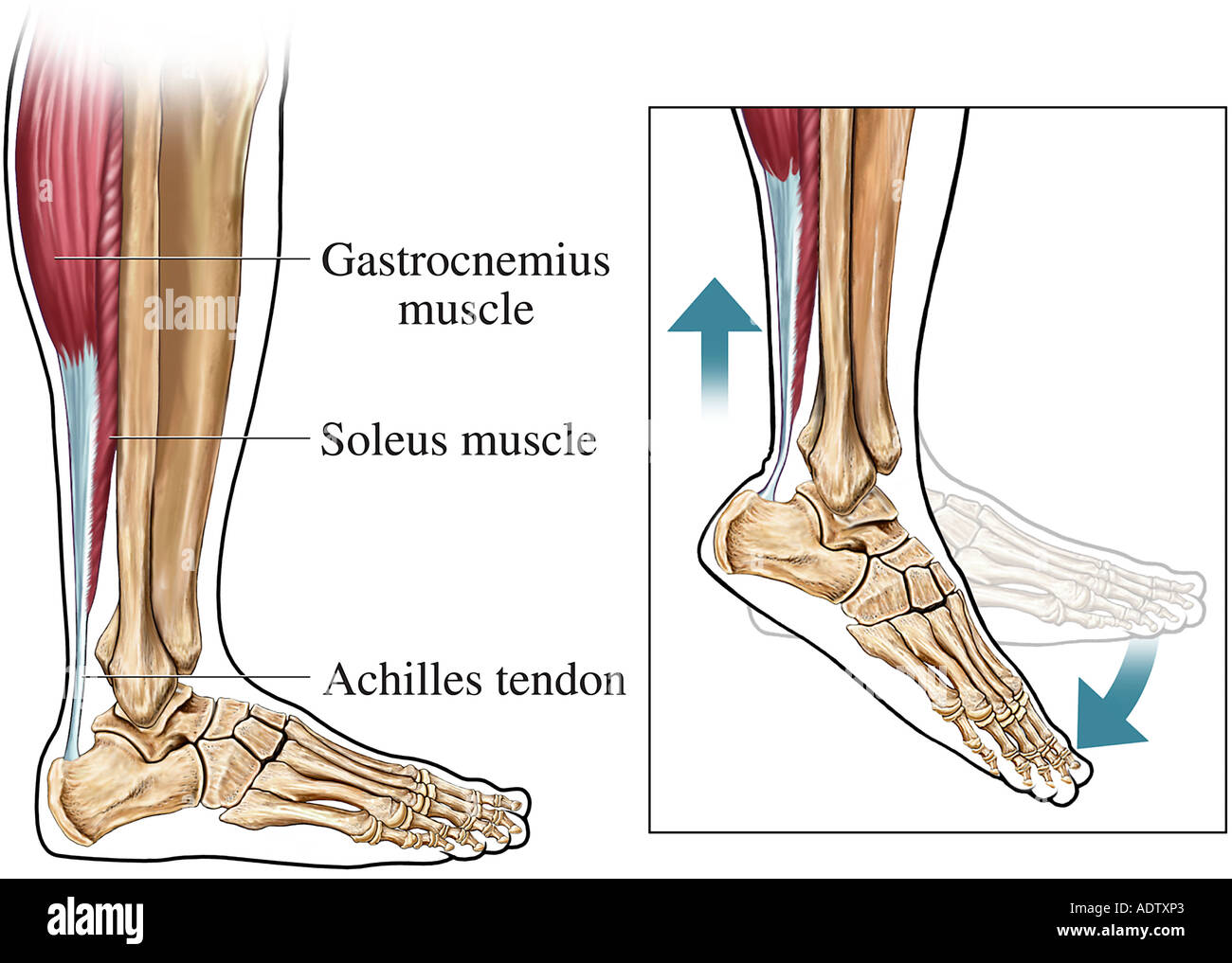 Achilles Tendon Lateral Side View Stock Photo 7710690 Alamy