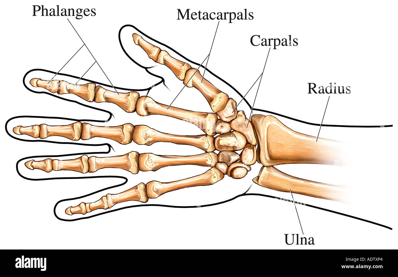 Wrist Bones Stock Photos Wrist Bones Stock Images Alamy
