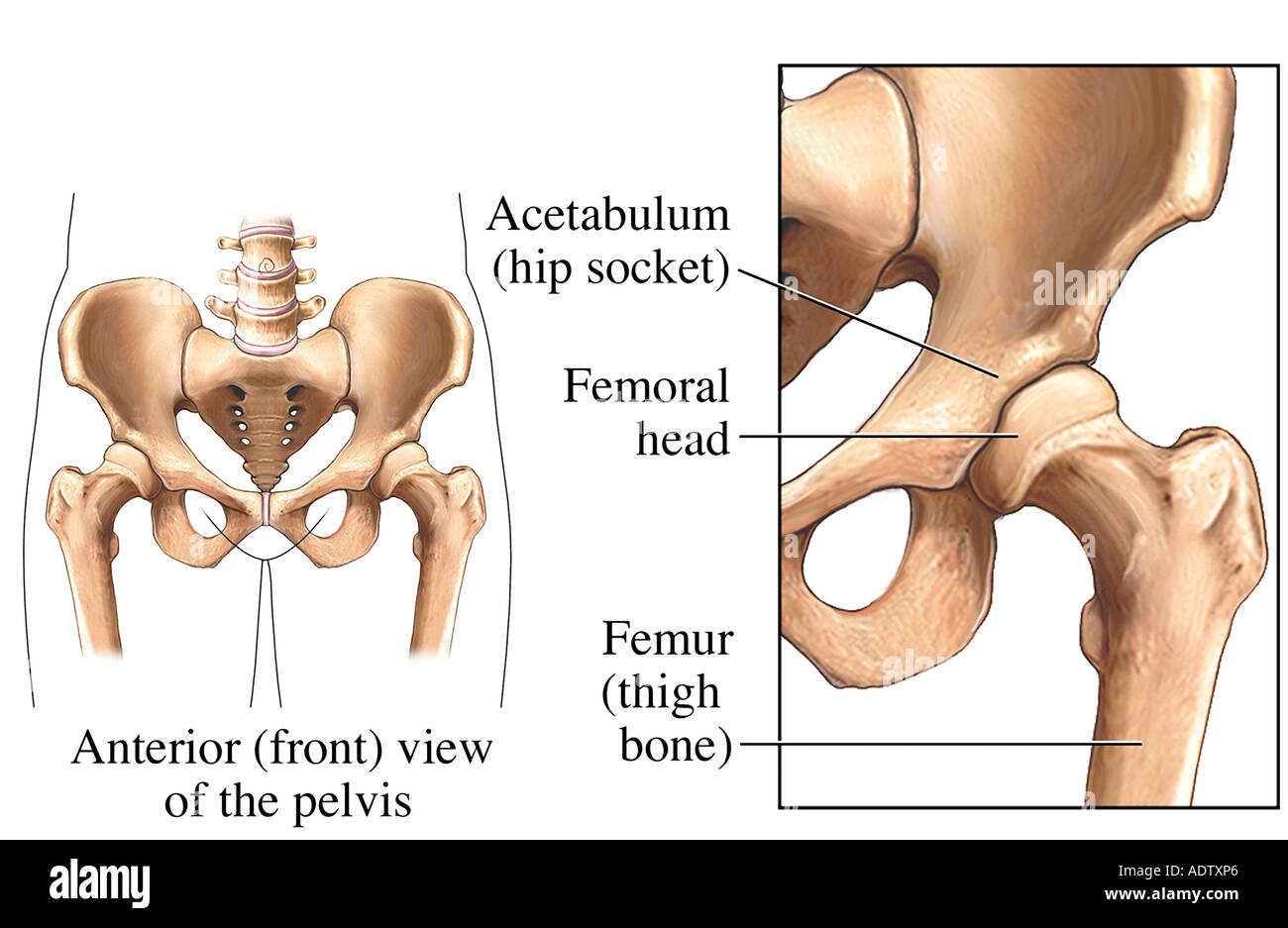 Hip Joint - Stock Image