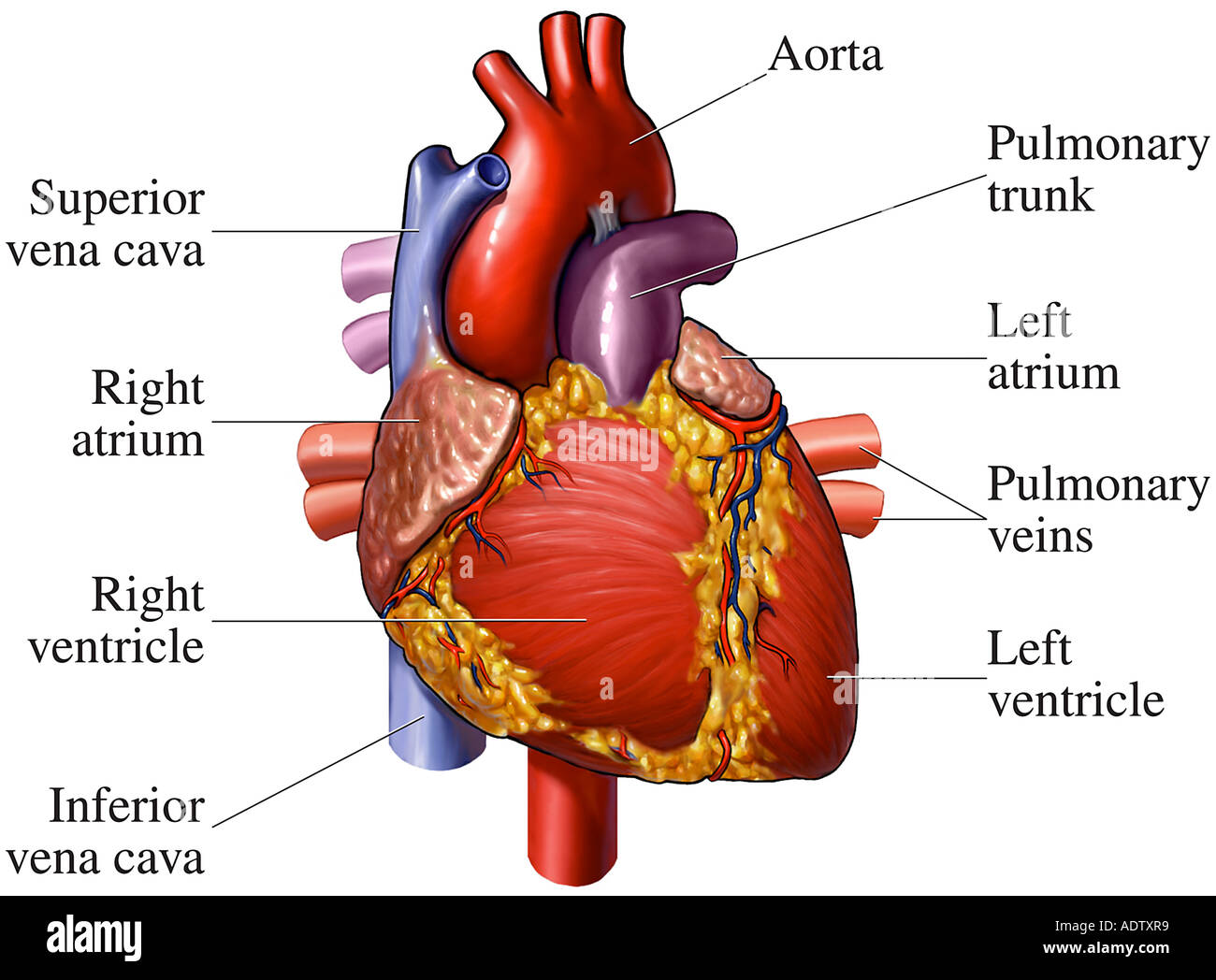Front View Heart Blood Vessels Stock Photos & Front View Heart Blood ...