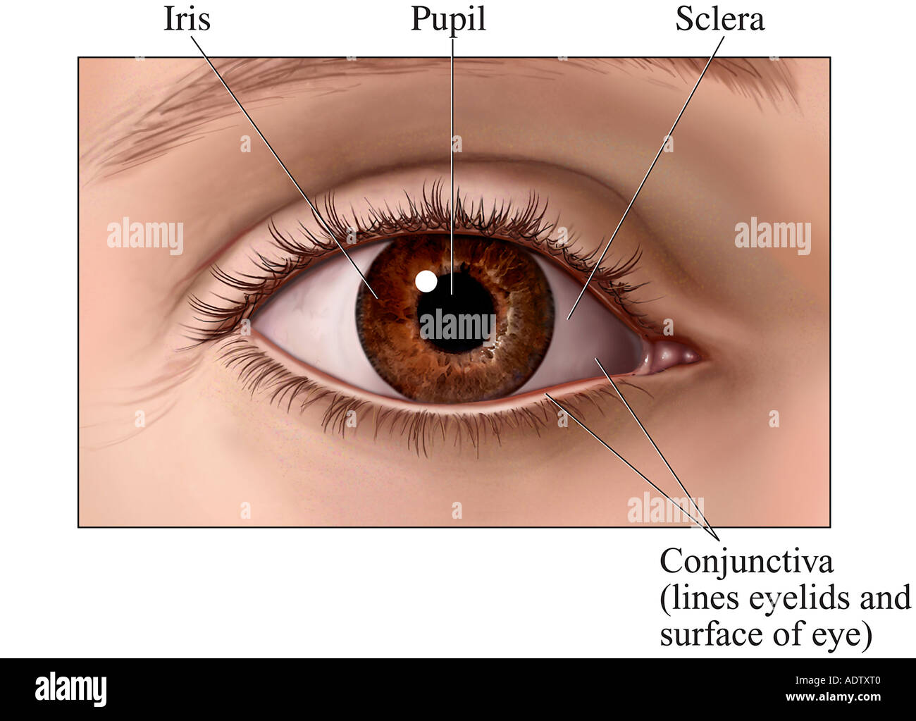 Anterior (Front) View of the Eye - Stock Image