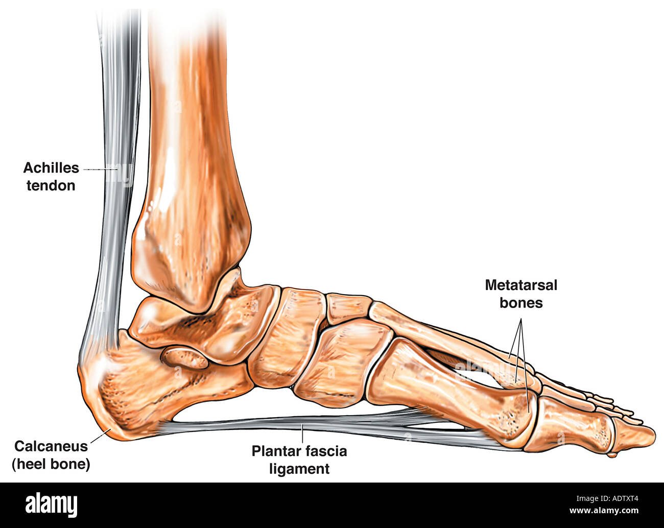 Anatomy Of The Foot And Ankle Stock Photo 7710723 Alamy