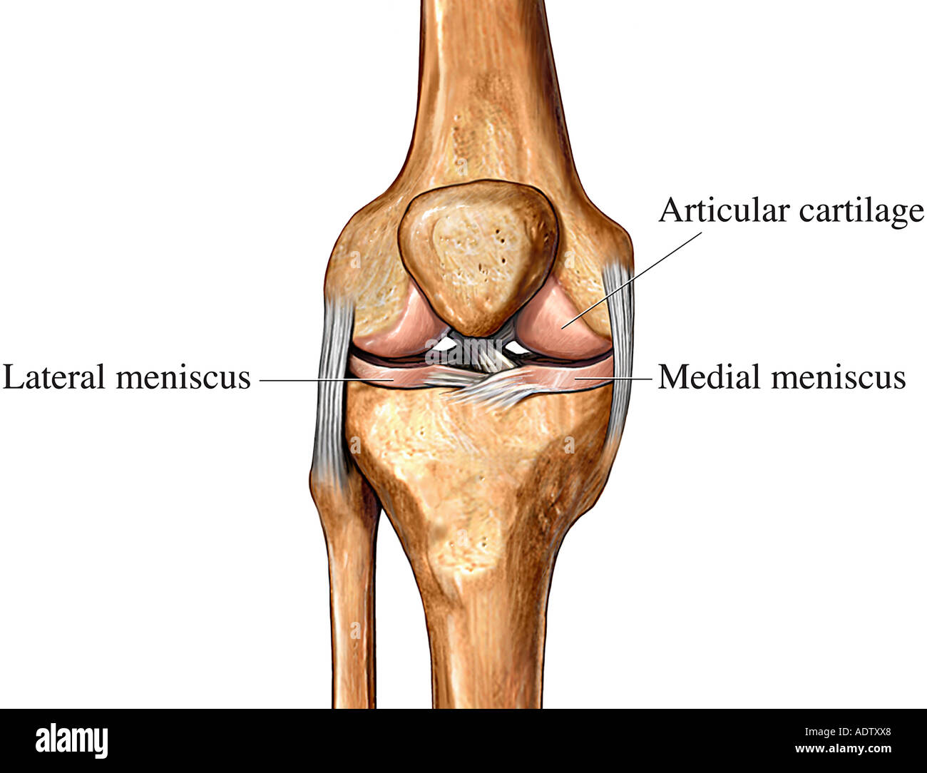 Cartilage of the Knee - Stock Image