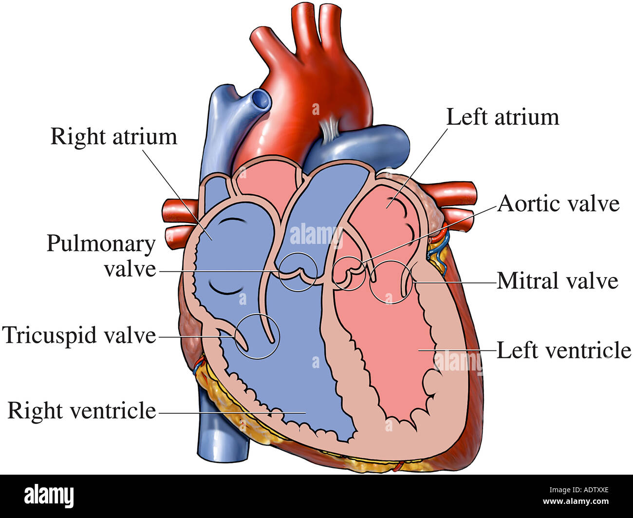Valves and Chambers of the Heart - Stock Image