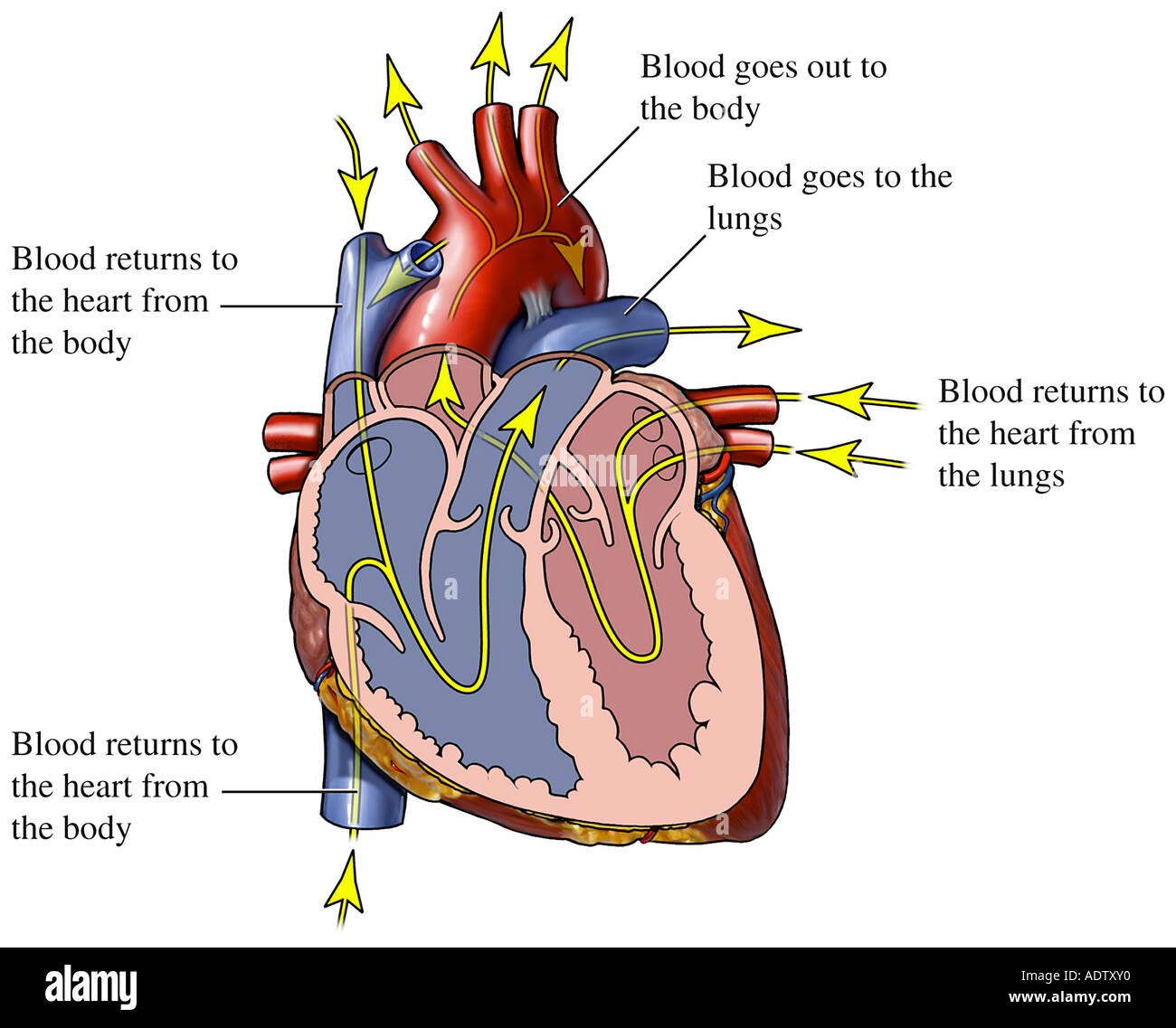 Blood Flow Through The Heart Stock Photo 7710767 Alamy
