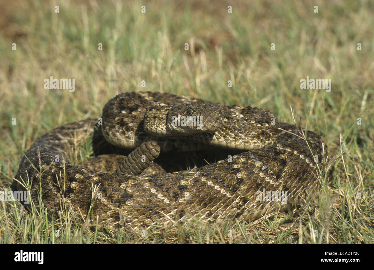 Western Diamond backed Rattlesnake Crotalus atrox Curled up on grass Texas U S A Stock Photo