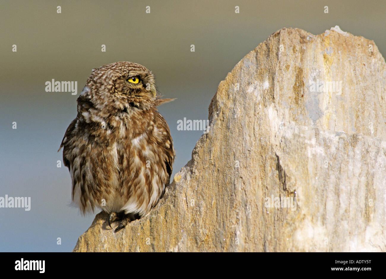 Little Owl Athene noctua adult on rock Samos Greek Island Greece May 2000 - Stock Image