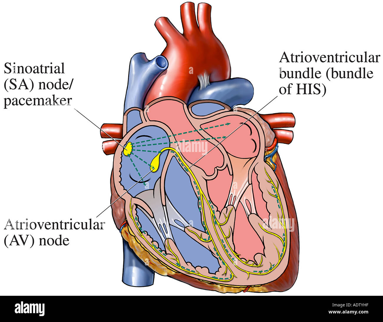 Cardiac Conduction System Of The Heart Stock Photo 7710814 Alamy